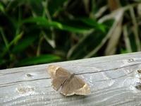 ヒカゲチョウと紛らわしいクロヒカゲ♀;クリックすると大きな写真になります。