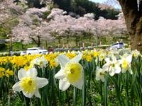 桜とスイセン;クリックすると大きな写真になります。