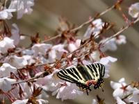 ギフチョウ桜を訪れる;クリックすると大きな写真になります。