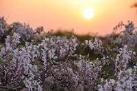 夕陽と藤;クリックすると大きな写真になります