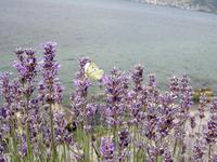 レマン湖のモンシロチョウ:クリックすると大きな写真になります