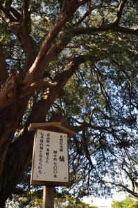 安養寺 樹齢700年の槙;クリックすると大きな写真になります